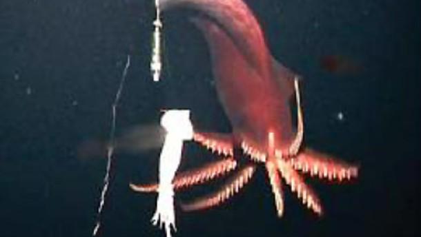 Ein Tintenfisch der Tiefsee setzt beim Beutefang auf Licht