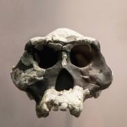 Schädel des Australopithescus-africanus-Fundes AL444-2 aus Hadar in Äthiopien.
