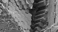 Stapel aus Kristallplättchen auf dem Rücken des männlichen Saphirkrebses