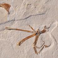 Das Foto zeigt das Fossil eines Alcmonavis poeschli, das im Altmühltal gefunden wurde.