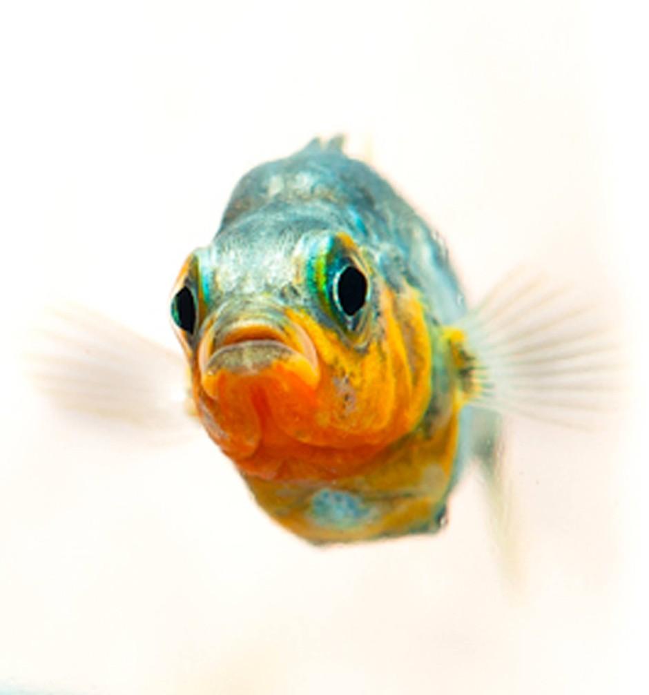 Erwachsener männlicher Süßwasser-Stichling (Gasterosteus aculeatus)