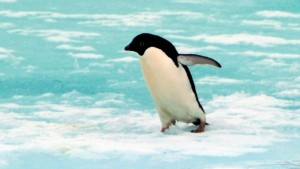 Pinguinschutz, Olympiaschmelze, Rekordkälte