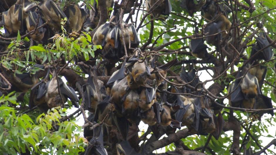 Kolonie von Palmenflughunden (Eidolon helvum) in Accra, Ghana