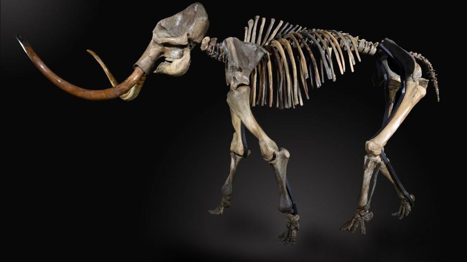 Mammut-Skelett vor einer Versteigerung im britischen Billinghurst