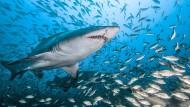 Sandtigerhai in einem Schwarm von Beutefischen
