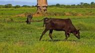 Wo einst Elefantenvögel, ausgestorbene Flusspferde und Riesenschildkröten grasten, weiden heute Rinder.