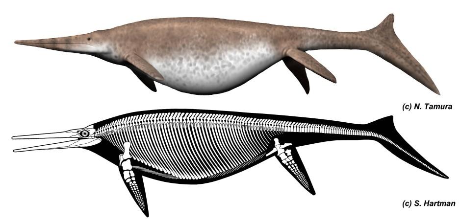 Rekonstruktion eines Shonisaurus