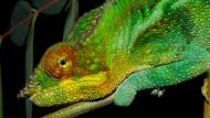 Männlicher Pantherchamäleon (Furcifer pardalis) fotografiert auf Madagaskar