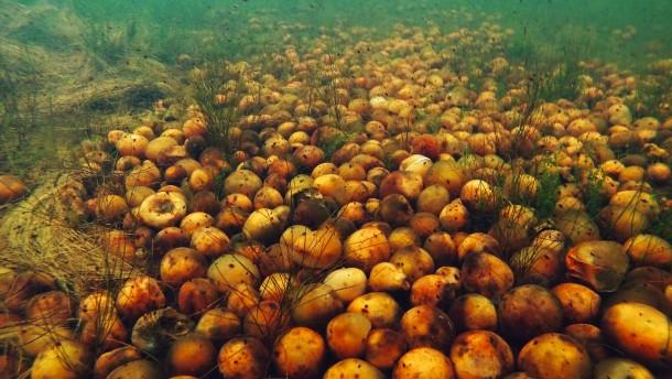 Pflaumenernte auf dem Seeboden