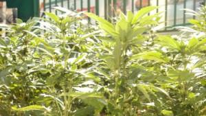 Körpereigenes Cannabis hemmt Hautallergie