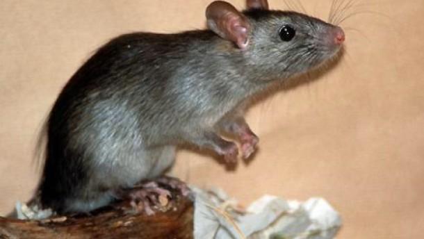 Ratte Parkinson