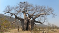 Der Methusalem unter den Baobabs