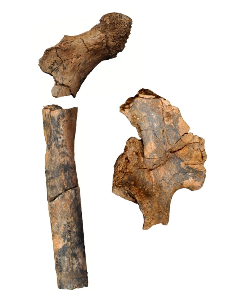 Oberschenkelknochen und Beckenfragment eines 1,9 Millionen Jahre alten Homo erectus, der morphologische Züge des grazileren Homo habilis trug.