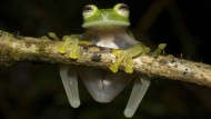 Weit mehr als ein Drittel der Amphibien ist vom Aussterben bedroht.