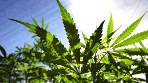 Australischer Cannabis-Produzent will an die Frankfurter Börse