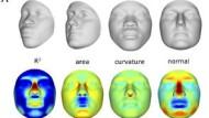 Computer-Rekonstruktion von Gesichtern, nachdem man die Geninformation verändert hat.