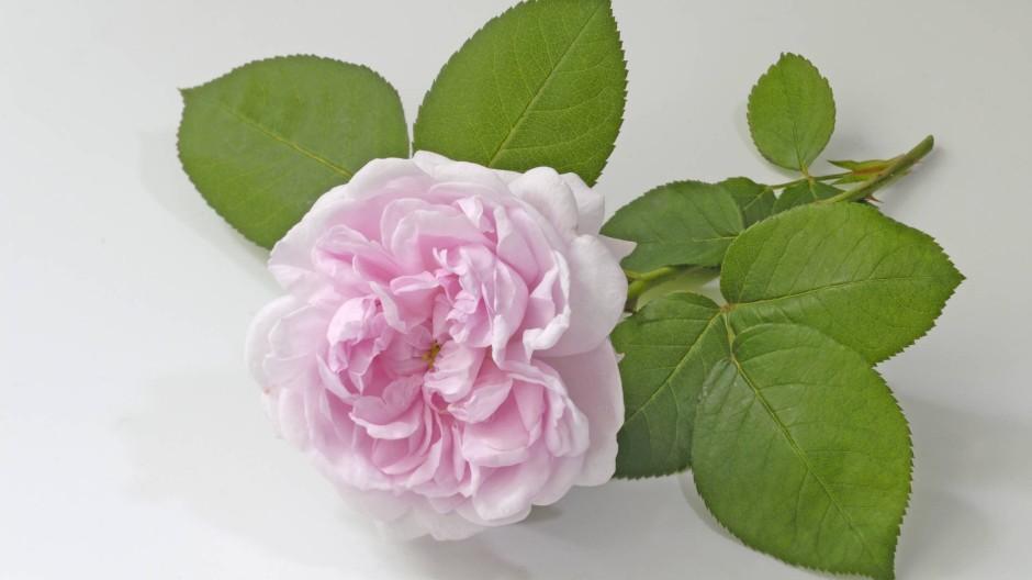 Hobbygärtner wünschen sich duftende Rosen, aber bitte pflegeleicht.