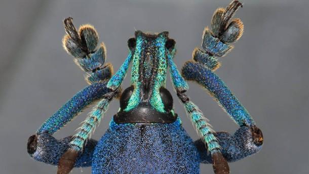 Das Farbenspiel des Rüsselkäfers