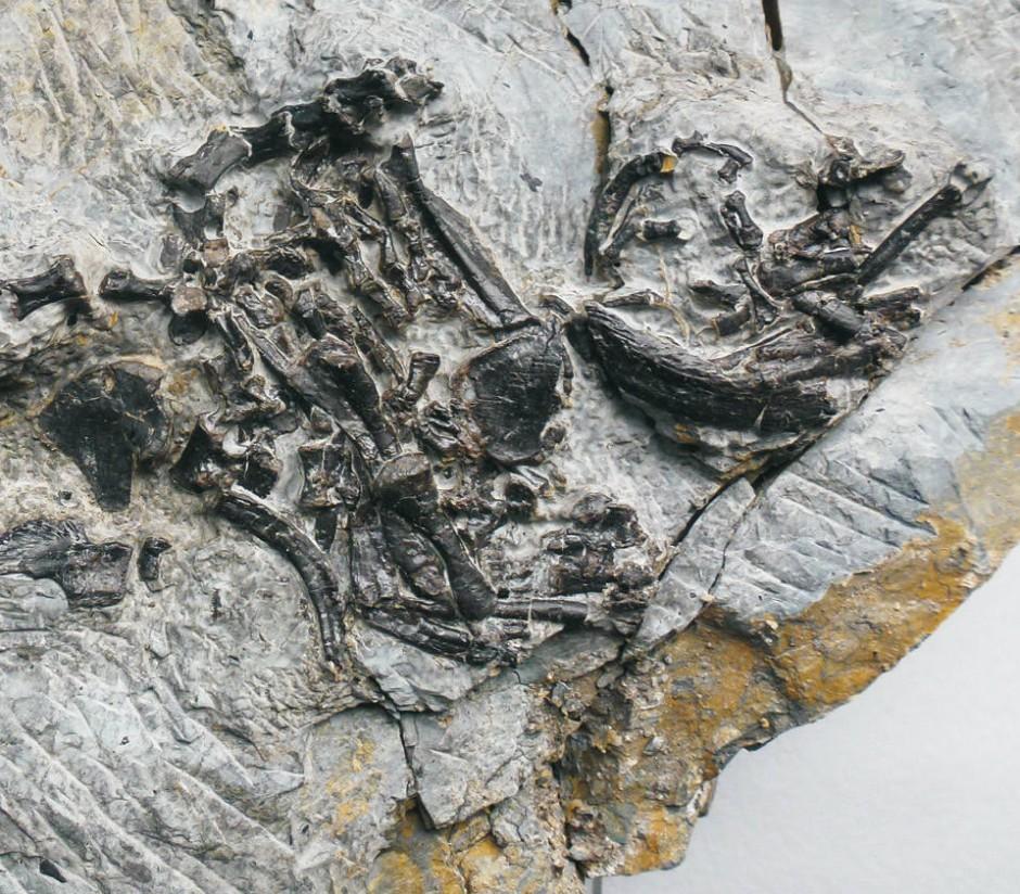 Viele Funde von Pappochelys bestehen aus zerlegten Skeletten, die vermutlich von Raubtieren zerbissen oder verschlungen und wieder ausgespien wurden