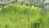 Während der Regenzeit sind die Termitenhügel im Issa Valley von dichtem Gras bewachsen.
