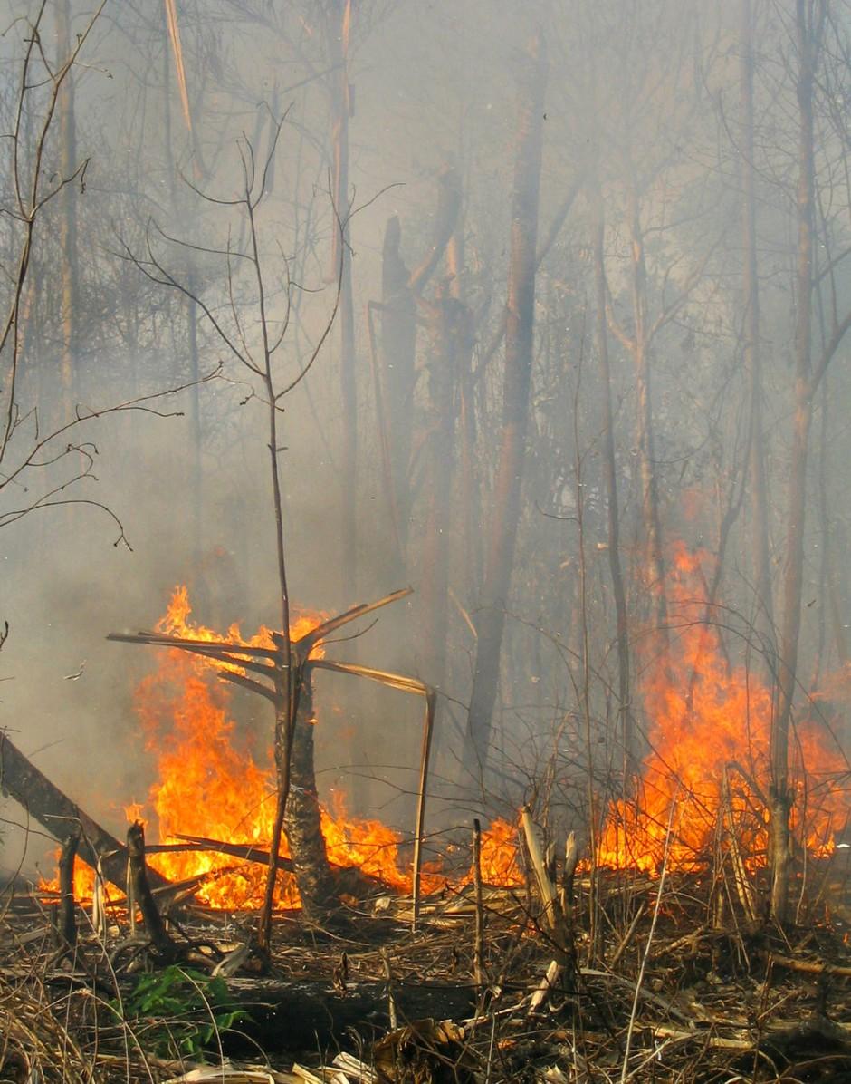 Dem Feuerroden etwa für Palmöl-Plantagen fallen immer größere Regenwaldflächen zum Opfer.