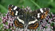 Das Beobachten von Tagfaltern (Hier ein Landkärtchen-Schmetterling) ist machen Vordenkern der Bürgerwissenschaft noch viel zu wenig.