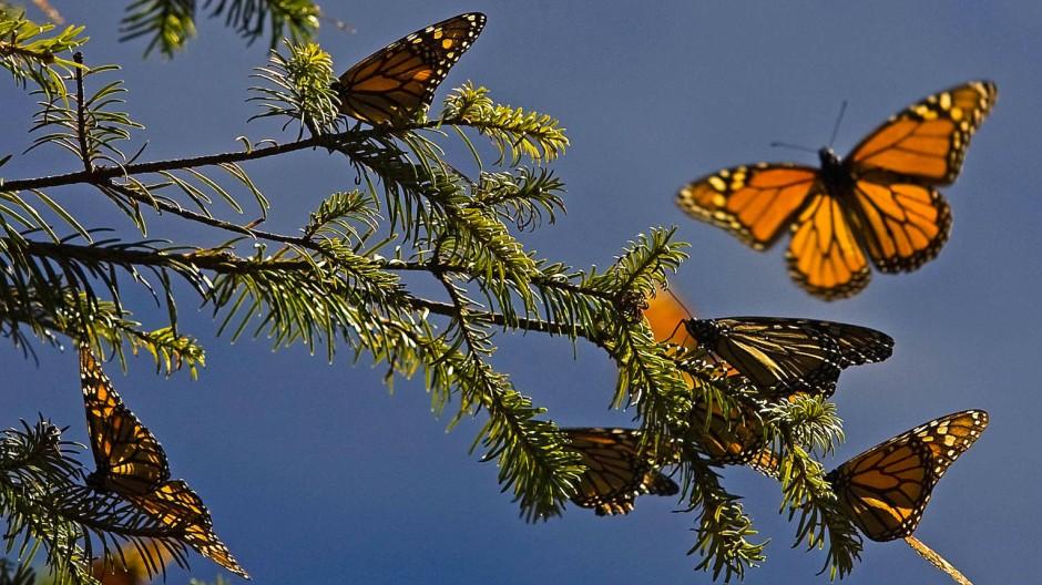 Die mehrere tausend Kilometer langen Wanderungen der Monarchfalter sind ein Naturereignis.