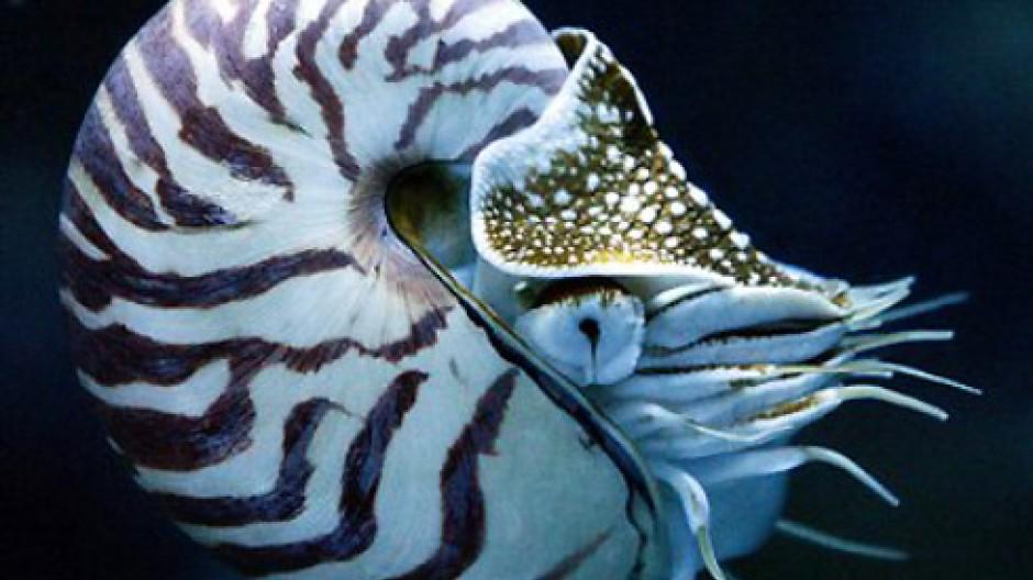 Ihm reichen lichtschwache Lochkameraaugen: der archaische Kopffüßer Nautilus.