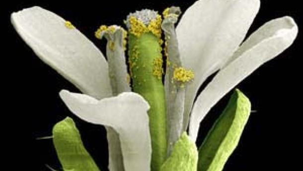 Das Thermometer in Pflanzenzellen ist entschlüsselt