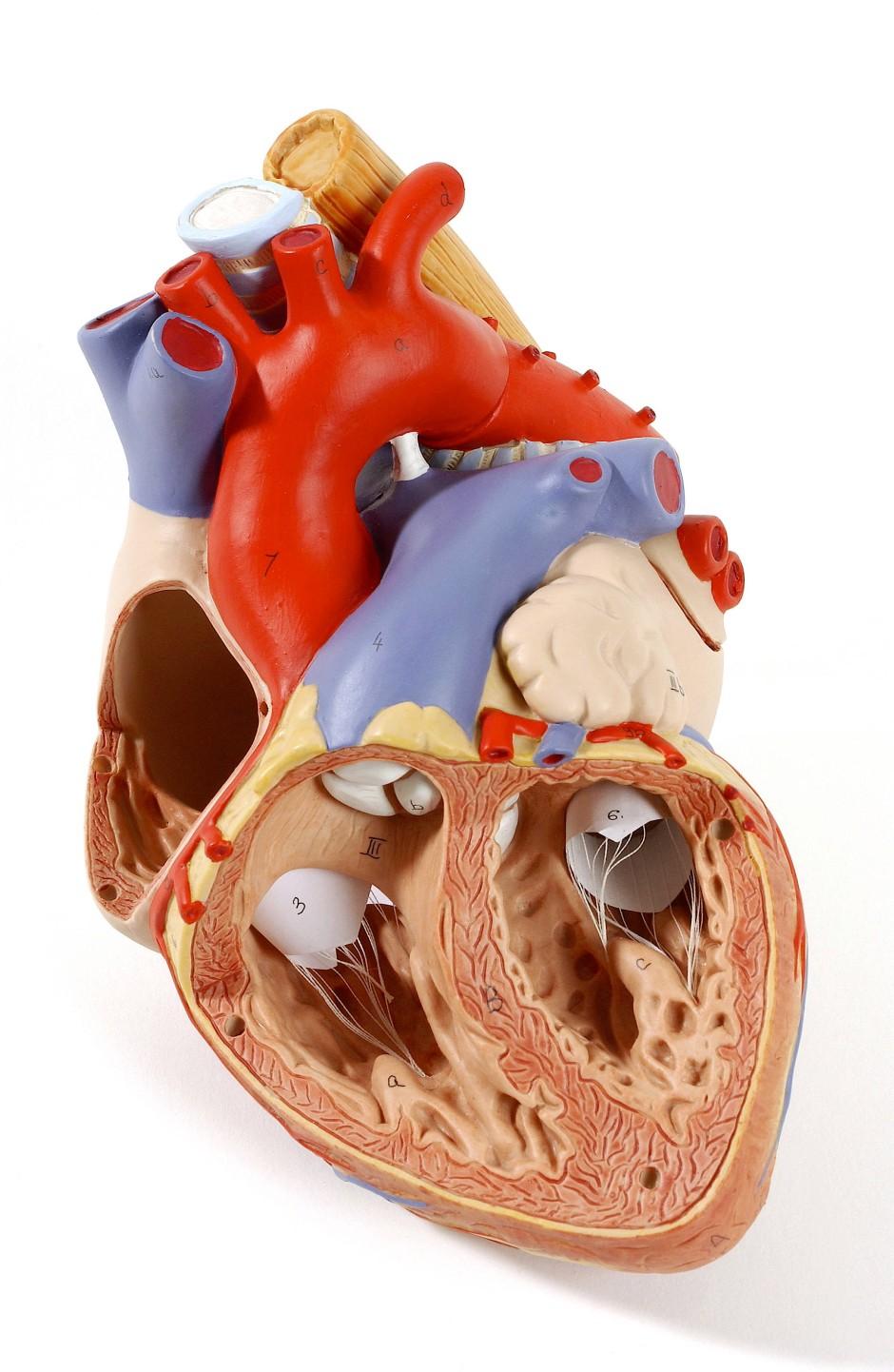 Blick in das Innere eines Modell-Herzens