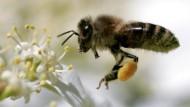 Landwirtschaft geht nicht ohne sie: Eine Honigbiene beim Sammeln von Nektar und Pollen.