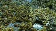 Muschelfelder um hydrothermale Quellen herum erreichen eine Ausdehnung von einigen hundert Quadratmetern, auf denen sich dann bis zu einer halben Millionen Individuen tummeln.