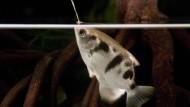 Spuckende Fische als Super-Jäger