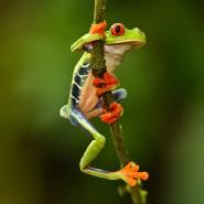 Der Rotaugenlaubfrosch lebt auf Bäumen in Mittel- und Südamerika.