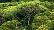 Brasilianischer Regenwald: Doch nicht in den ziemlich armen Böden wimmelt das Leben, sondern oben in den Baumkronen.