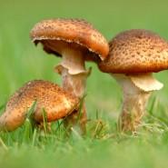 Der Hallimasch oder Honigpilz (Armillaria) wächst bevorzugt auf Wiesen,  befällt aber auchlebendes und totes Holz.