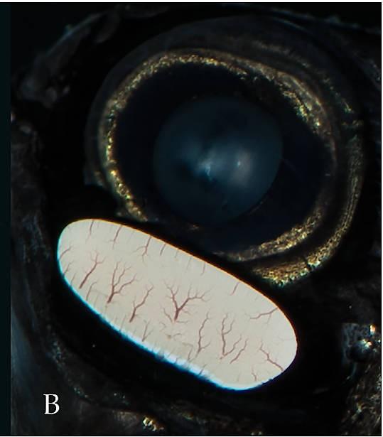 Detailaufnahme des Leuchtorgans unter dem Auge