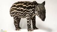 Ein sechs Tage alter Malayischer Tapir aus dem Minnesota Zoo.