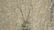Urkrake Nectocaris aus dem Burgess-Schiefer
