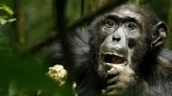 Schimpansen klauen im Schutz der Nacht