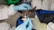 Katzen können leicht mit Corona infiziert werden