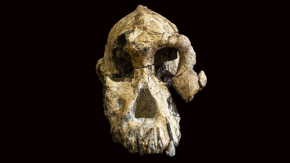 Der 3,8 Millionen Jahre alte Schädel eines Australopithecus anamensis ist ungewöhnlich gut erhalten.