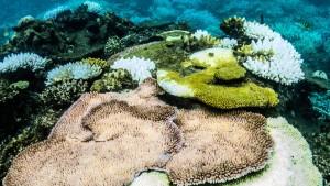 Korallenbleiche gefährdet Great Barrier Reef