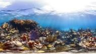 Intakte Korallenriffe werden immer seltener. Vor allem die Riffe in der Karibik sind bedroht. Ein wesentlicher Grund ist Überfischung
