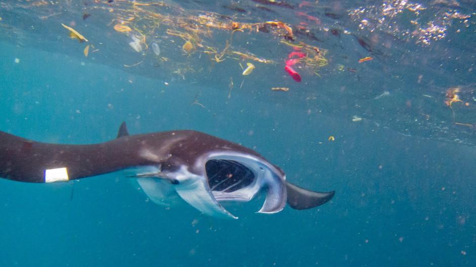 Ein Mantarochen schwimmt unter einem Teppich aus Plastikmüll hindurch.