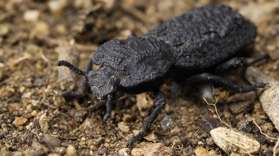Der eisengepanzerte Käfer (Phloeodes diabolicus) ist fast nicht zu knacken.