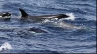 Ein Rudel Orcas umzingelt einen Zweizahnwal und vereitelt jeden Fluchtversuch.
