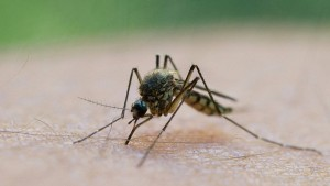 Malaria macht Mäuse für Moskitos attraktiver