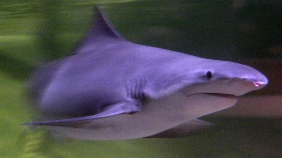 Ein Speerzahnhai (Glyphis glyphis) schwimmt friedlich im Aquarium in Melbourne (https://www.flickr.com/photos/29053754@N08/4409987541/).