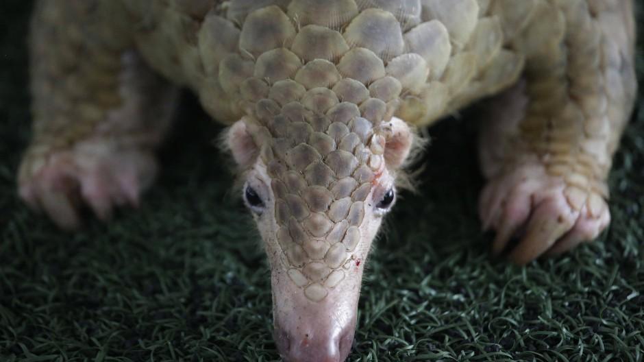 Das Schuppentier oder Pangolin ist ein Opfer des Wildtierhandels – aber angeblich schon raus aus dem Rennen um den Ursprung von Sars-CoV-2.